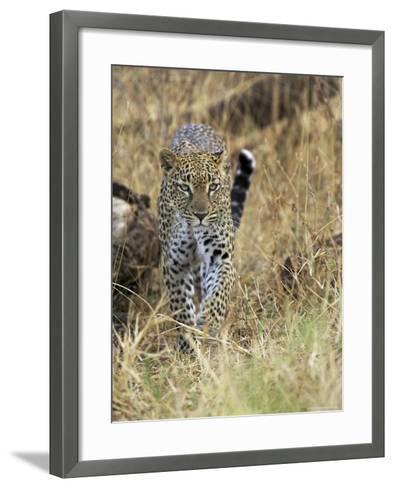 Leopard (Panthera Pardus) Approaching, Samburu Game Reserve, Kenya, East Africa, Africa-James Hager-Framed Art Print