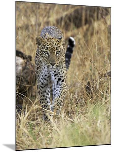 Leopard (Panthera Pardus) Approaching, Samburu Game Reserve, Kenya, East Africa, Africa-James Hager-Mounted Photographic Print