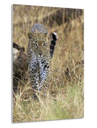 Leopard (Panthera Pardus) Approaching, Samburu Game Reserve, Kenya, East Africa, Africa-James Hager-Metal Print