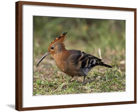 African Hoopoe (Upupa Africana), Pilanesberg National Park, South Africa, Africa-James Hager-Framed Art Print