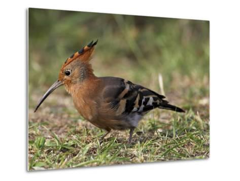 African Hoopoe (Upupa Africana), Pilanesberg National Park, South Africa, Africa-James Hager-Metal Print