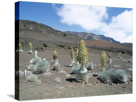 Silverswords, Growing in Vast Crater of Haleakala, Maui-Robert Francis-Stretched Canvas Print