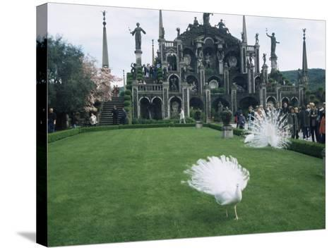 White Peacocks in Front of Folly, Isola Bella, Lake Maggiore, Piedmont, Italy-Sheila Terry-Stretched Canvas Print
