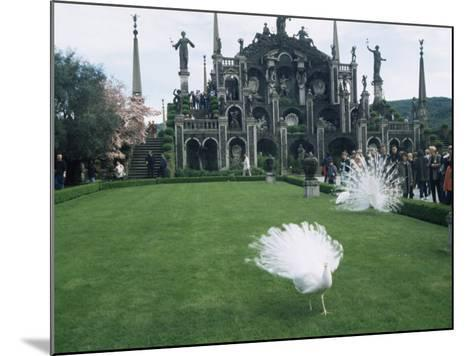 White Peacocks in Front of Folly, Isola Bella, Lake Maggiore, Piedmont, Italy-Sheila Terry-Mounted Photographic Print