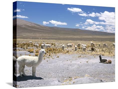 Domesticated Alpacas Grazing on Altiplano, Near Arequipa, Peru, South America-Tony Waltham-Stretched Canvas Print