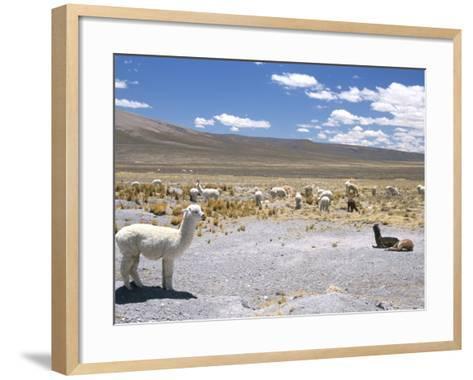 Domesticated Alpacas Grazing on Altiplano, Near Arequipa, Peru, South America-Tony Waltham-Framed Art Print