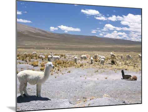 Domesticated Alpacas Grazing on Altiplano, Near Arequipa, Peru, South America-Tony Waltham-Mounted Photographic Print