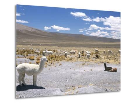 Domesticated Alpacas Grazing on Altiplano, Near Arequipa, Peru, South America-Tony Waltham-Metal Print