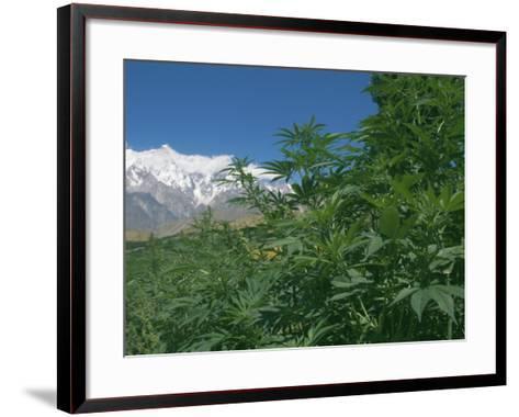 Marijuana Bushes, Near Hopar Glacier, Hunza, Pakistan-Jane Sweeney-Framed Art Print