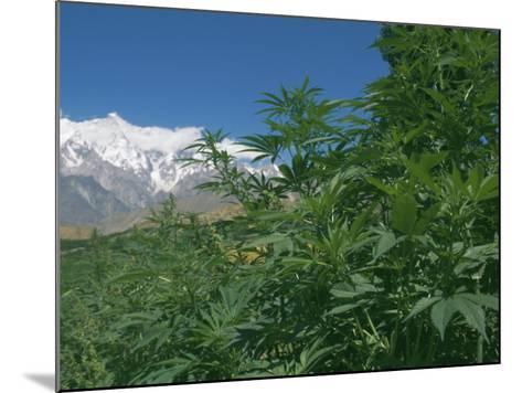 Marijuana Bushes, Near Hopar Glacier, Hunza, Pakistan-Jane Sweeney-Mounted Photographic Print