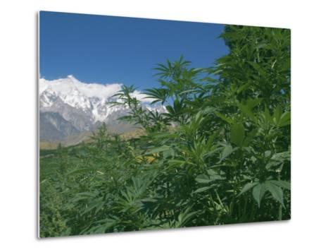 Marijuana Bushes, Near Hopar Glacier, Hunza, Pakistan-Jane Sweeney-Metal Print