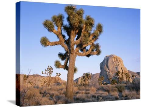 Joshua Tree and Rocks in Evening Light, Joshua Tree National Park, California, USA-Ruth Tomlinson-Stretched Canvas Print