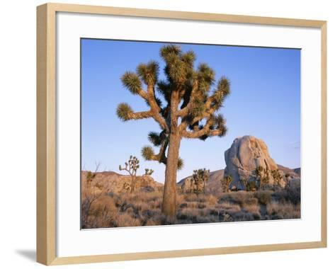 Joshua Tree and Rocks in Evening Light, Joshua Tree National Park, California, USA-Ruth Tomlinson-Framed Art Print