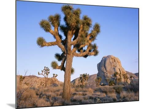Joshua Tree and Rocks in Evening Light, Joshua Tree National Park, California, USA-Ruth Tomlinson-Mounted Photographic Print
