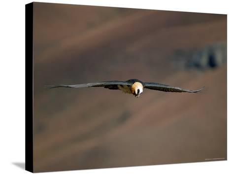 Lammergeier in Flight, Giant's Castle, Kwazulu Natal, South Africa-Steve & Ann Toon-Stretched Canvas Print