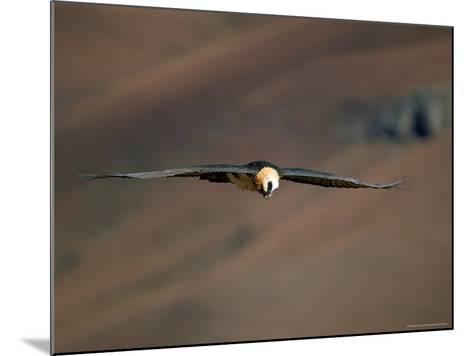 Lammergeier in Flight, Giant's Castle, Kwazulu Natal, South Africa-Steve & Ann Toon-Mounted Photographic Print