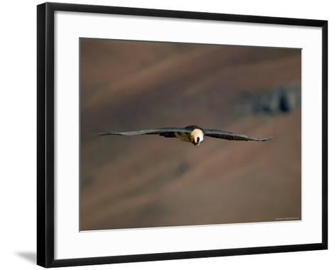 Lammergeier in Flight, Giant's Castle, Kwazulu Natal, South Africa-Steve & Ann Toon-Framed Art Print