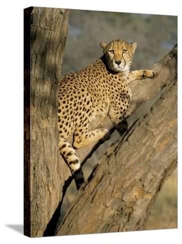 Cheetah (Acinonyx Jubatus) up a Tree in Captivity, Namibia, Africa-Steve & Ann Toon-Stretched Canvas Print