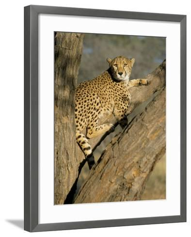 Cheetah (Acinonyx Jubatus) up a Tree in Captivity, Namibia, Africa-Steve & Ann Toon-Framed Art Print