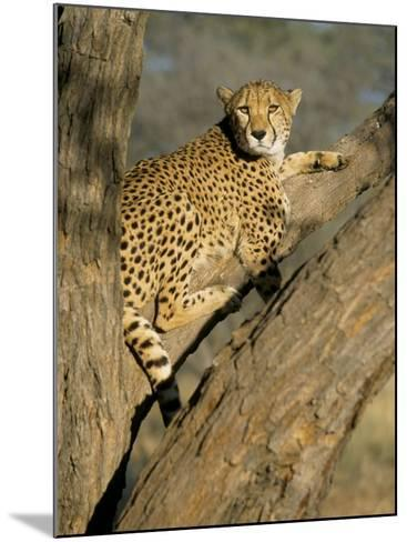 Cheetah (Acinonyx Jubatus) up a Tree in Captivity, Namibia, Africa-Steve & Ann Toon-Mounted Photographic Print