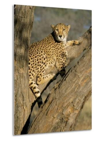 Cheetah (Acinonyx Jubatus) up a Tree in Captivity, Namibia, Africa-Steve & Ann Toon-Metal Print