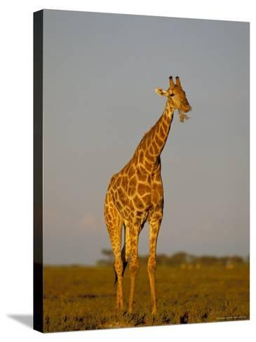 Giraffe (Giraffa Camelopardalis) Grazing, Etosha National Park, Namibia, Africa-Steve & Ann Toon-Stretched Canvas Print