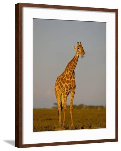 Giraffe (Giraffa Camelopardalis) Grazing, Etosha National Park, Namibia, Africa-Steve & Ann Toon-Framed Art Print