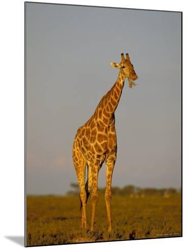 Giraffe (Giraffa Camelopardalis) Grazing, Etosha National Park, Namibia, Africa-Steve & Ann Toon-Mounted Photographic Print