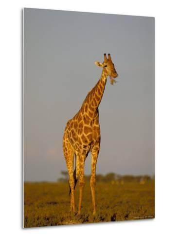 Giraffe (Giraffa Camelopardalis) Grazing, Etosha National Park, Namibia, Africa-Steve & Ann Toon-Metal Print