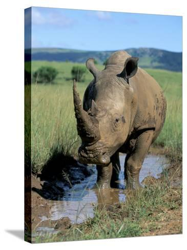 White Rhino (Ceratotherium Simum) Cooling Off, Itala Game Reserve, South Africa, Africa-Steve & Ann Toon-Stretched Canvas Print