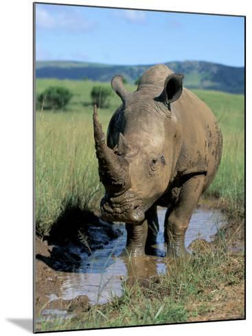 White Rhino (Ceratotherium Simum) Cooling Off, Itala Game Reserve, South Africa, Africa-Steve & Ann Toon-Mounted Photographic Print