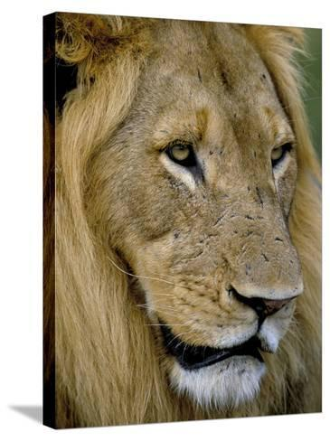 Male Lion (Panthero Leo), Kruger National Park, South Africa, Africa-Steve & Ann Toon-Stretched Canvas Print