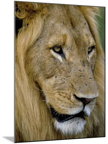 Male Lion (Panthero Leo), Kruger National Park, South Africa, Africa-Steve & Ann Toon-Mounted Photographic Print