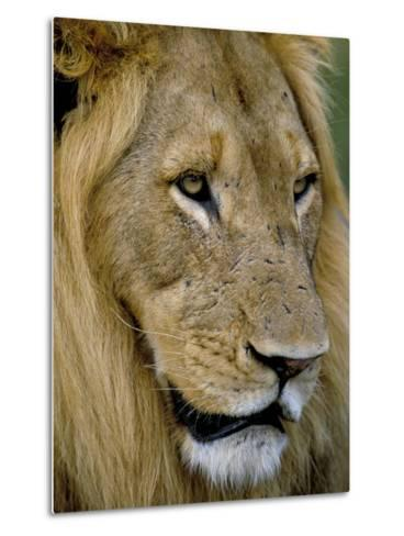 Male Lion (Panthero Leo), Kruger National Park, South Africa, Africa-Steve & Ann Toon-Metal Print