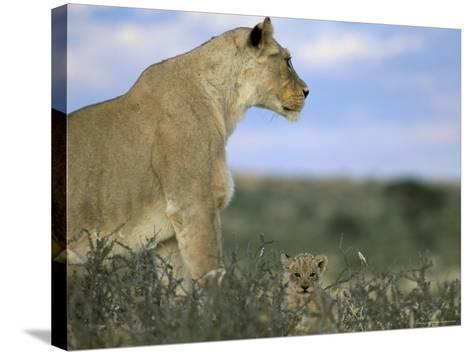 Lioness (Panthera Leo) with Small Cub, Kalahari Gemsbok Park, South Africa, Africa-Steve & Ann Toon-Stretched Canvas Print