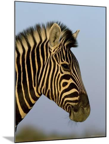 Head of a Zebra, South Africa, Africa-Steve & Ann Toon-Mounted Photographic Print