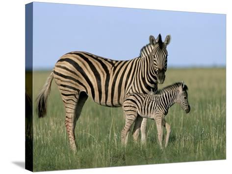 Burchell's (Plains) Zebra and Newborn Foal (Equus Burchelli), Etosha National Park, Namibia, Africa-Steve & Ann Toon-Stretched Canvas Print