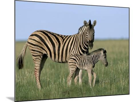 Burchell's (Plains) Zebra and Newborn Foal (Equus Burchelli), Etosha National Park, Namibia, Africa-Steve & Ann Toon-Mounted Photographic Print