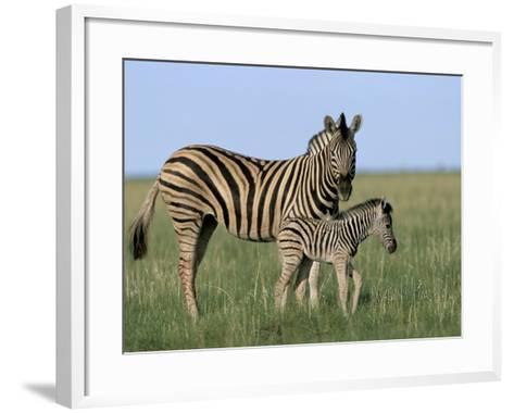 Burchell's (Plains) Zebra and Newborn Foal (Equus Burchelli), Etosha National Park, Namibia, Africa-Steve & Ann Toon-Framed Art Print