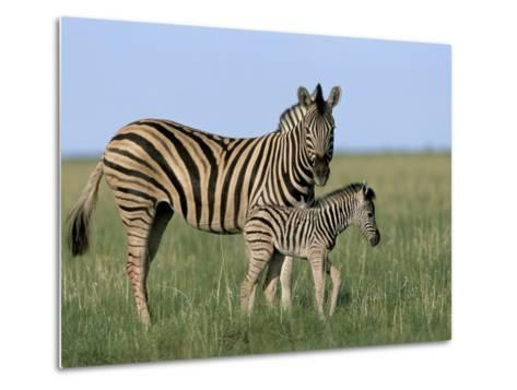Burchell's (Plains) Zebra and Newborn Foal (Equus Burchelli), Etosha National Park, Namibia, Africa-Steve & Ann Toon-Metal Print