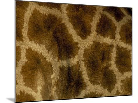 Close-Up of Coat Pattern of Giraffe (Giraffa Camelopardalis), Etosha National Park, Namibia, Africa-Steve & Ann Toon-Mounted Photographic Print