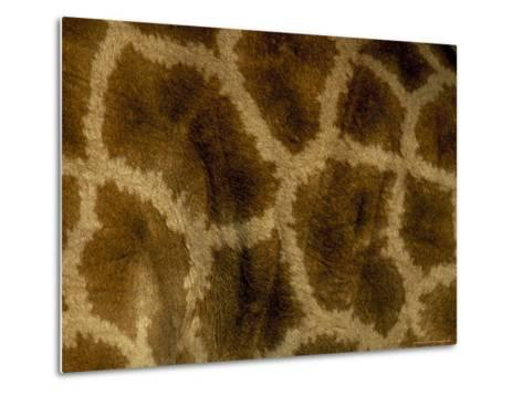 Close-Up of Coat Pattern of Giraffe (Giraffa Camelopardalis), Etosha National Park, Namibia, Africa-Steve & Ann Toon-Metal Print