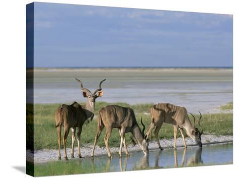 Greater Kudu (Tragelaphus Strepsiceros) Males at Seasonal Water on Etosha Pan, Namibia, Africa-Steve & Ann Toon-Stretched Canvas Print