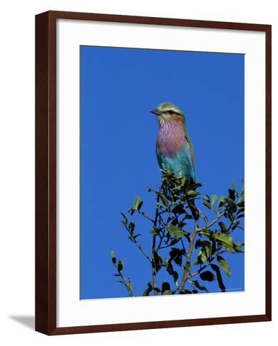 Lilac-Breasted Roller (Coracias Caudata), Kruger National Park, South Africa, Africa-Steve & Ann Toon-Framed Art Print