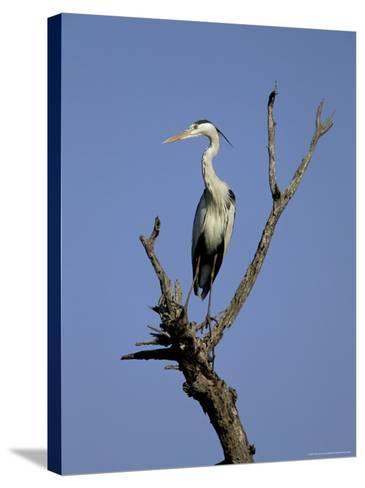 Grey Heron (Ardea Cinerea), Kruger National Park, South Africa, Africa-Steve & Ann Toon-Stretched Canvas Print
