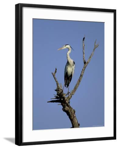 Grey Heron (Ardea Cinerea), Kruger National Park, South Africa, Africa-Steve & Ann Toon-Framed Art Print
