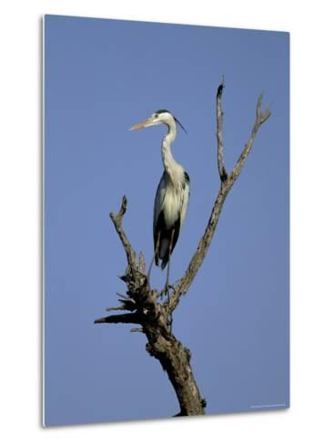 Grey Heron (Ardea Cinerea), Kruger National Park, South Africa, Africa-Steve & Ann Toon-Metal Print