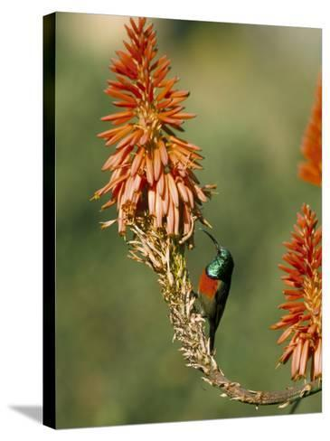 Greater Doublecollared Sunbird (Nectarinia Afra), Giant's Castle, South Africa, Africa-Steve & Ann Toon-Stretched Canvas Print