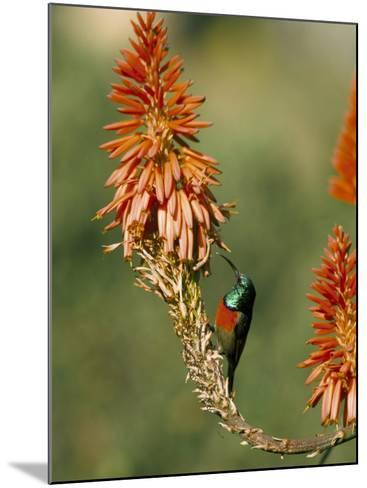 Greater Doublecollared Sunbird (Nectarinia Afra), Giant's Castle, South Africa, Africa-Steve & Ann Toon-Mounted Photographic Print