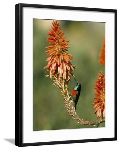 Greater Doublecollared Sunbird (Nectarinia Afra), Giant's Castle, South Africa, Africa-Steve & Ann Toon-Framed Art Print